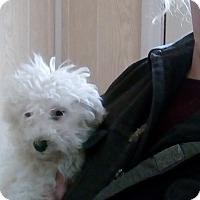 Adopt A Pet :: Snowflake ADOPTION PENDING - Antioch, IL