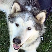 Adopt A Pet :: TORQUE - Boise, ID