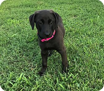 Labrador Retriever/Mountain Cur Mix Puppy for adoption in Gallatin, Tennessee - Feta