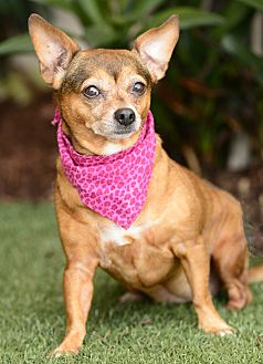 Miniature Pinscher/Chihuahua Mix Dog for adoption in Rancho Palos Verdes, California - Lucy