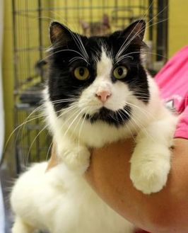 Domestic Longhair/Domestic Shorthair Mix Cat for adoption in Enterprise, Alabama - Chanel