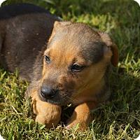Adopt A Pet :: Owen - Newark, DE