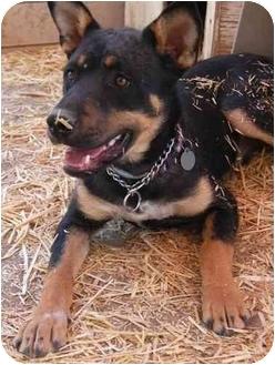 Shepherd (Unknown Type)/Terrier (Unknown Type, Medium) Mix Dog for adoption in Pie Town, New Mexico - JACKSON