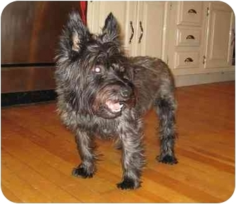 Cairn Terrier Mix Dog for adoption in Worcester, Massachusetts - Wally