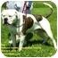 Photo 2 - American Bulldog Mix Dog for adoption in Somerset, Pennsylvania - Hannibal (Bob)