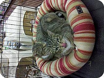 Abyssinian Cat for adoption in Los Angeles, California - Hugh Hefner/Barbie Benton