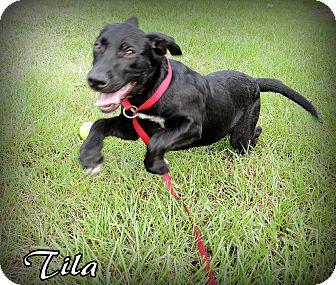 Labrador Retriever Mix Puppy for adoption in Hammond, Louisiana - Tila
