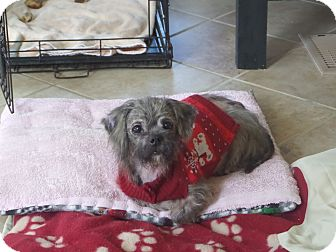 Havanese/Shih Tzu Mix Dog for adoption in Knoxville, Tennessee - Ellie Rose