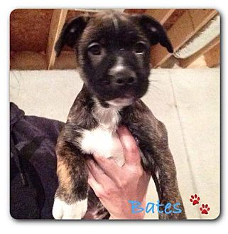 Labrador Retriever/Pit Bull Terrier Mix Puppy for adoption in Maryville, Illinois - Bates