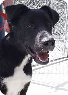 Border Collie/Labrador Retriever Mix Puppy for adoption in Grants Pass, Oregon - May