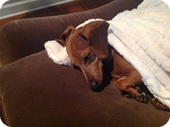 Dachshund Dog for adoption in Decatur, Georgia - Vanna