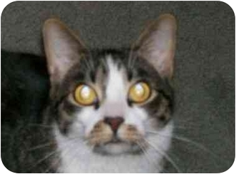 American Shorthair Cat for adoption in mishawaka, Indiana - Mickey