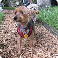 Adopt A Pet :: Stitch - Leesburg, FL