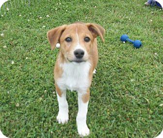 Boxer/German Shepherd Dog Mix Puppy for adoption in Liberty Center, Ohio - Allie