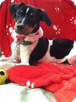 Hound (Unknown Type) Mix Puppy for adoption in Richmond, Virginia - Bandit