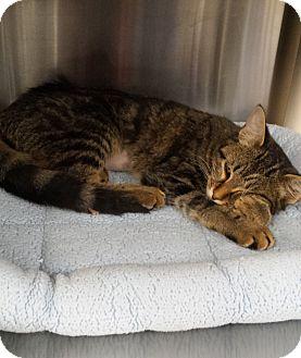 Domestic Shorthair Cat for adoption in Stillwater, Oklahoma - Denae