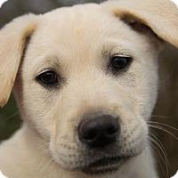 Adopt A Pet :: *Joey - PENDING - Westport, CT