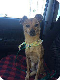 Italian Greyhound/Chihuahua Mix Dog for adoption in Pitt Meadows, British Columbia - Casey