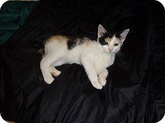 Domestic Shorthair Kitten for adoption in Richmond, Virginia - Brigitta