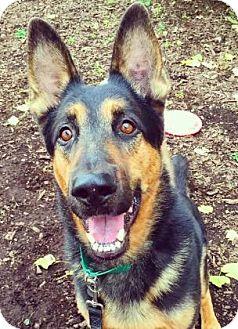 German Shepherd Dog Dog for adoption in Oak Park, Illinois - Amos