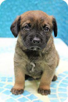 Labrador Retriever/German Shepherd Dog Mix Puppy for adoption in Bedminster, New Jersey - Cash