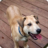 Adopt A Pet :: Niko - Knoxville, TN
