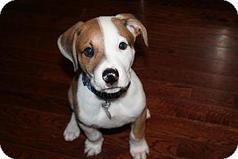 Terrier (Unknown Type, Medium) Mix Puppy for adoption in FOSTER, Rhode Island - Copper