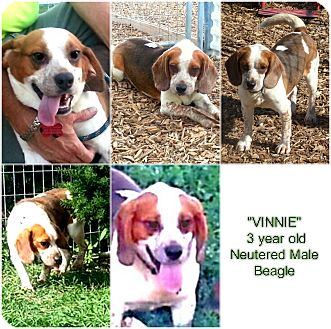 "Beagle Dog for adoption in Findlay, Ohio - ""VINNIE"""