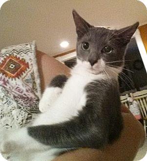 Domestic Shorthair Cat for adoption in Bensalem, Pennsylvania - Laki