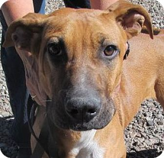 Boxer/Shepherd (Unknown Type) Mix Dog for adoption in Silver City, New Mexico - Levon