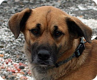Anatolian Shepherd/Terrier (Unknown Type, Medium) Mix Dog for adoption in Beebe, Arkansas - Cicily