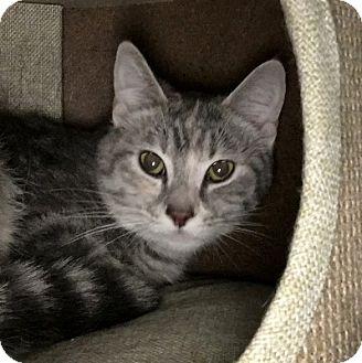 Domestic Shorthair Cat for adoption in Lloydminster, Alberta - Fruitti