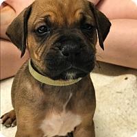 Adopt A Pet :: Morgan - ST LOUIS, MO