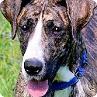 Adopt A Pet :: BRIE(PB GREAT DANE-THROWN AWAY - Wakefield, RI