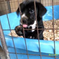 Adopt A Pet :: Oreo - Opelousas, LA