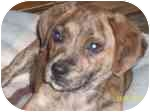 Feist Mix Puppy for adoption in Plainfield, Illinois - Kringle