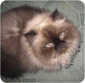 Persian Cat for adoption in Beverly Hills, California - Rumor