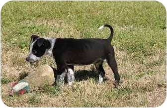 Blue Heeler Mix Puppy for adoption in Houston, Texas - Cameron