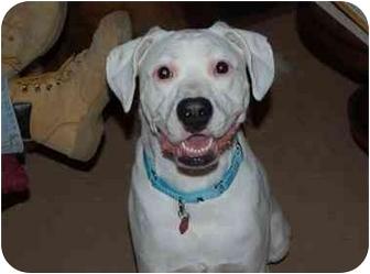 Labrador Retriever/American Bulldog Mix Dog for adoption in Raritan, New Jersey - Rocky