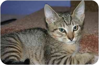 Domestic Shorthair Cat for adoption in Dayton, New Jersey - Begonia