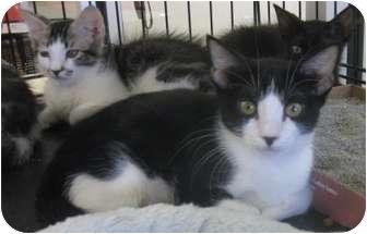 Egyptian Mau Kitten for adoption in Dallas, Texas - Isis
