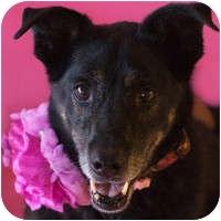 Labrador Retriever Mix Dog for adoption in Denver, Colorado - Olivia