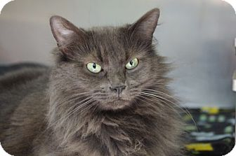 Domestic Longhair Cat for adoption in Elyria, Ohio - Melodik