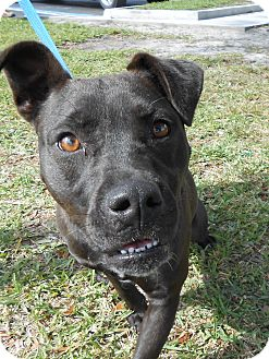 Pit Bull Terrier Mix Dog for adoption in Gainesville, Florida - Minnie