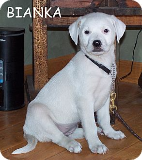 Boxer Mix Puppy for adoption in Milford, New Jersey - Bianka