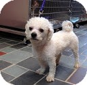 Bichon Frise Mix Dog for adoption in Tinton Falls, New Jersey - Elliott