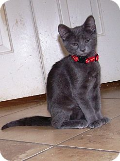 Domestic Shorthair Kitten for adoption in Las Vegas, Nevada - Storm
