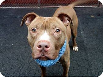 Pit Bull Terrier Mix Dog for adoption in New York, New York - Bryson