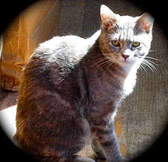 Domestic Shorthair Cat for adoption in Newtown, Connecticut - Apple