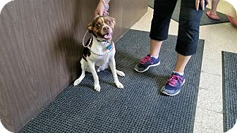 Beagle/Pug Mix Dog for adoption in Indianola, Iowa - Jax